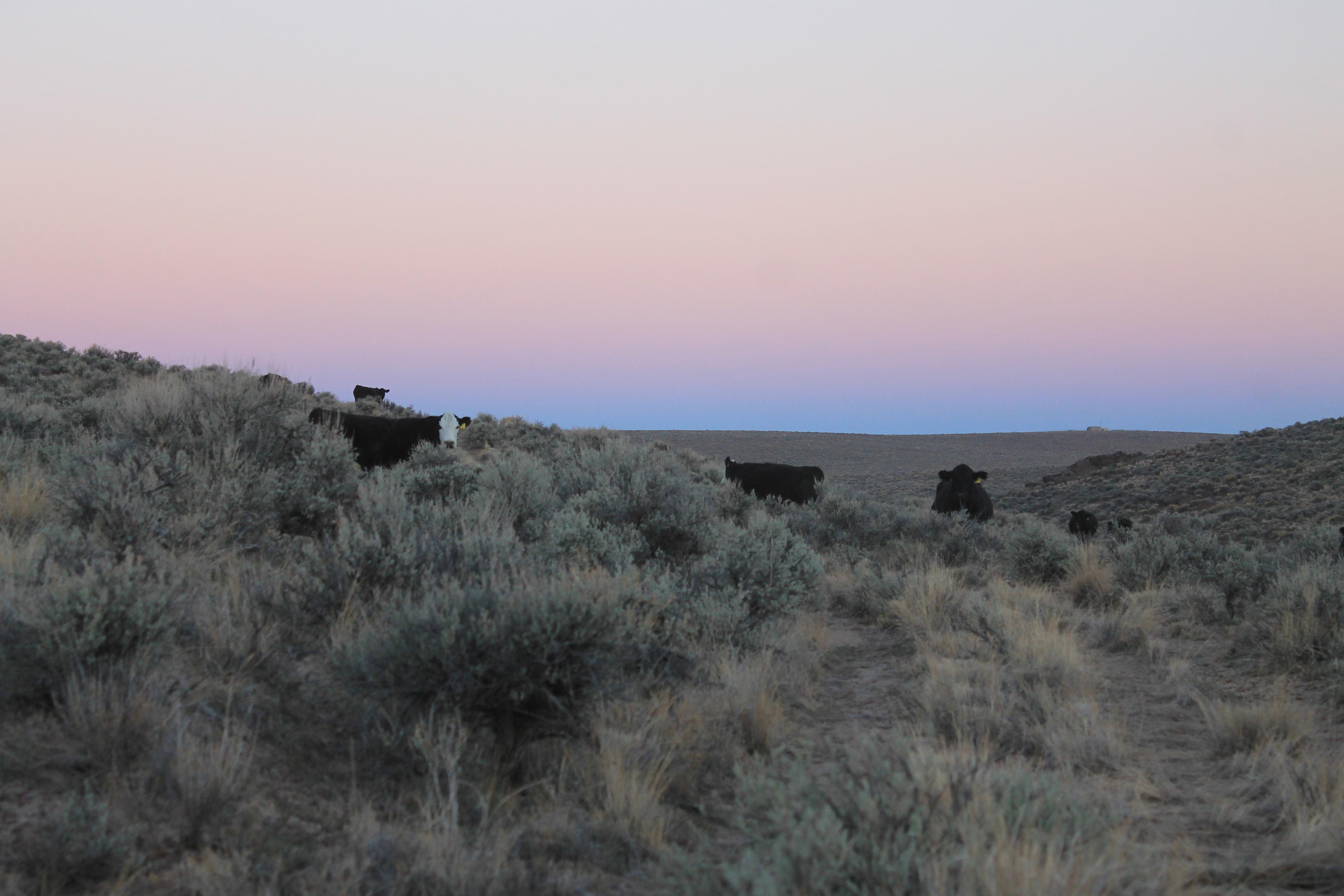 Sunrise bovines.
