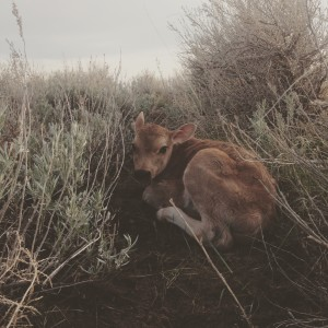 Homer the Jersey calf